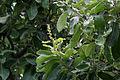 Semecarpus anacardium (Marking Nut) W IMG 1402.jpg