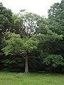 Semi clad oak - geograph.org.uk - 2477490.jpg