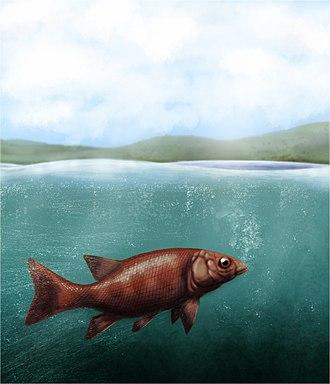 Ashfield Shale - Semionotus