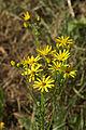 Senecio-erucifolies Blütenstand 0179.jpg