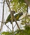 Senegal-parrot-montage-2.jpg