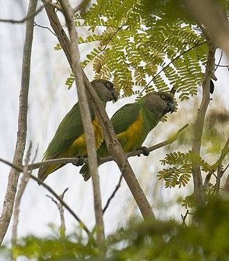 Senegal parrot - A pair of Senegal parrots in the wild at Hann Park, Dakar, Senegal