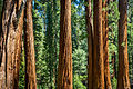 Sequoia from Crescent Meadow (19747514991).jpg