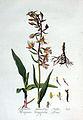 Serapias longifolia — Flora Batava — Volume v3.jpg