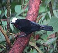 Sericossypha albocristata Pollo de monte White-capped Tanager (8597341065) (cropped).jpg