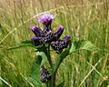 Serratula tinctortia ssp. macrocephala PID1984-1.jpg