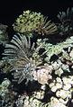 Several Klunzinger's Feather Stars, Lamprometra klunzingeri at night at Abu Dabab Reefs, Red Sea, Egypt SCUBA.jpg