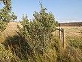 Shepherdia argentea — Matt Lavin 001.jpg