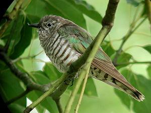 Shining bronze cuckoo - In Queensland, Australia