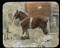 Shire Stallion (22562712360).jpg