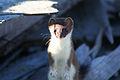 Short-tailed Weasel (9514000664).jpg