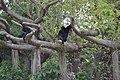 Siamang, Zoo Miami.jpg