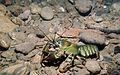 Signal Crayfish Roger Tabor (USFWS) (6092822807).jpg