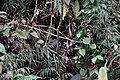 Slaty-backed Chat-tyrant (Ochthoeca cinnamomeiventris thoracica) (4856430335).jpg