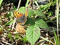 Small Copper Butterfly (4532695236).jpg