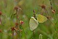 Small Grassyellow-Madayippara-DSC 2968 00001.jpg