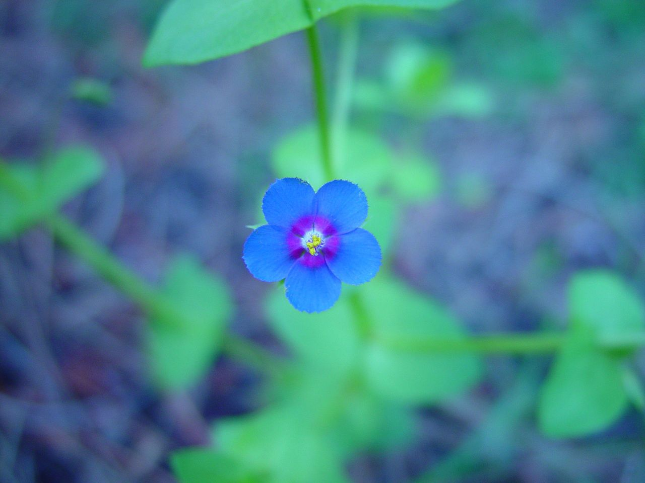 Filesmall Blue Flowerg Wikimedia Commons