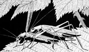 Tree cricket - Oecanthus angustipennis, the narrow-winged tree cricket