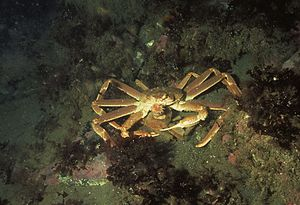 Chionoecetes opilio - A pair of snow crabs with the larger, easily visible male perched on top of the female. In Bonne Bay, Newfoundland, Canada
