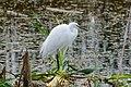 Snowy Egret (24170333812).jpg