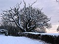 Snowy tree at dusk - geograph.org.uk - 1657223.jpg