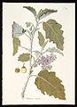 Solanum coagulans 469-original.jpg