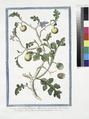 Solanum pomiferum, frutescens, africanum, spinosum, nigricans, Borraganis flore, foliis profunde laciniatis (NYPL b14444147-1125087).tiff
