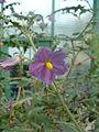 Solanum pyracanthos01.jpg