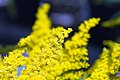 Solidago canadensis Crown of Rays 6zz.jpg