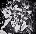 Some large-leaved ornamental plants for the tropics (1952) (20532014852).jpg