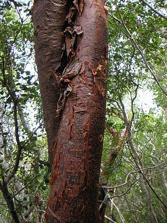 """Bursera simaruba - """"Tourist Tree"""" bark"""