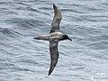 Sooty Albatross CW.jpg