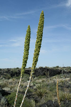 Dasylirion wheeleri - Flower stem of the Desert Spoon plant