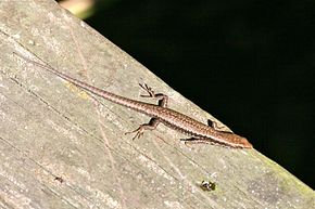 Description de l'image Southern Grass Skink (Pseudemoia entrecasteauxii) 2.jpg.