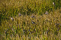 Sparrows in the rice field (14749194072).jpg