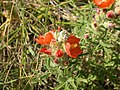 Sphaeralcea coccinea (5199874991).jpg
