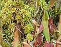 Sphagnum Brown's Lake Bog.jpg