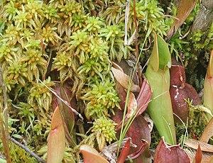 Sphagnum - Sphagnum with Northern Pitcher Plants (Sarracenia purpurea) at Brown's Lake Bog, Ohio.