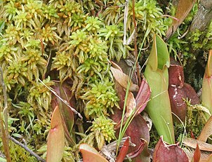 Sphagnum Brown%27s Lake Bog