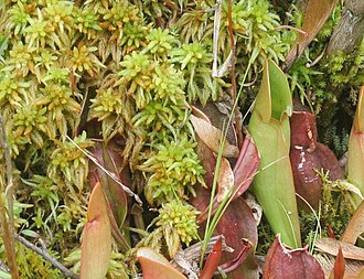 Sphagnum - Sphagnum with northern pitcher plants (Sarracenia purpurea) at Brown's Lake Bog, Ohio