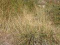 Sporobolus airoides (3912229074).jpg