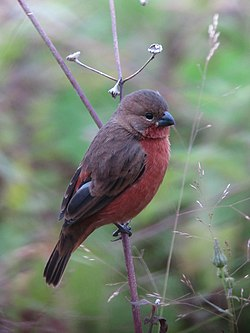 Sporophila minuta Espiguero ladrillo Ruddy-breasted Seedeater (male) (12241078116).jpg
