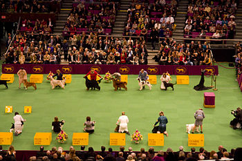 A photograph of Sporting Group judging at the ...