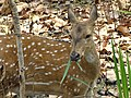 Spotted Deer - Chitwan National Park - Nepal (13907383382).jpg