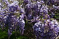 Spring-flower-wisteria-clusters - West Virginia - ForestWander.jpg