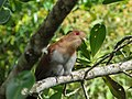 Squirrel Cuckoo(Piaya cayana).jpg
