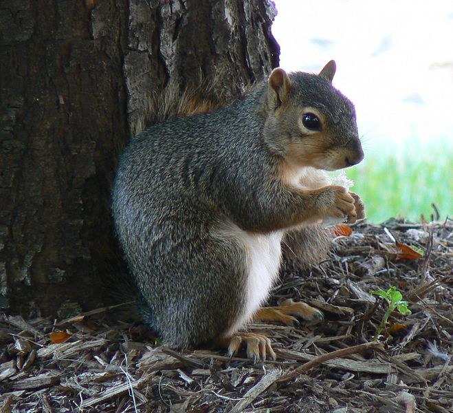 File:Squirrel Nebraska.jpg