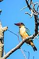 Sri Lankan Kingfisher.jpg