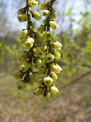 Stachyurus - Stachyurus praecox flowers.