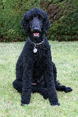 Standard Poodle black male sitting.jpg